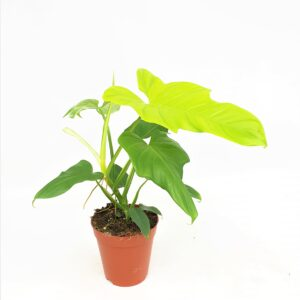 Philodendron Violin Gold