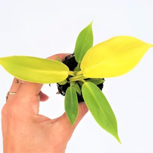 "Philodendron Imperial Gold ""Moonlight"" stek"