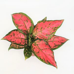 Aglaonema Red Hybrid