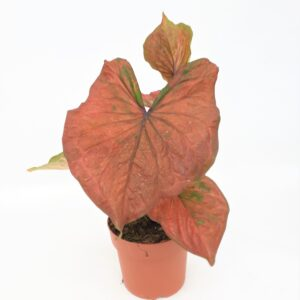 Caladium Thai Red