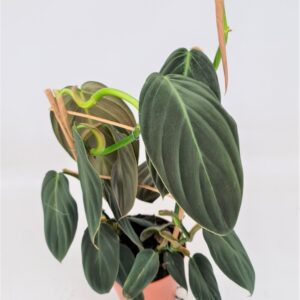 Philodendron Gigas (L)