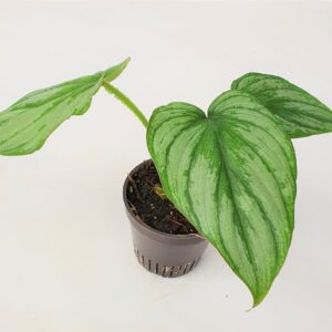 Philodendron Mamei Silver Cloud (S)