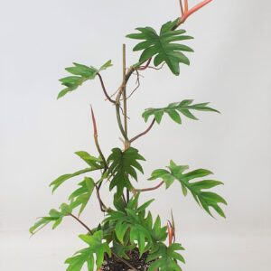 Philodendron Mayoi (L)